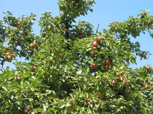 apple-tree-16769_640